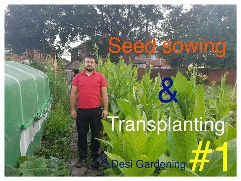 How to grow tobacco in uk #1 (seed sowing harvest explained)