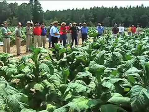Georgia tobacco quality up, production down in 2010